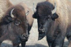Due bisonte/Buffalo Fotografie Stock Libere da Diritti