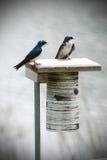 Due blu e gli uccelli bianchi del sorso di albero su un uccello si appollaiano Fotografie Stock Libere da Diritti
