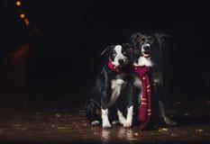 Due Border Collie dei cani Fotografie Stock Libere da Diritti