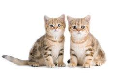 Due Britannici allevano i gattini Fotografie Stock