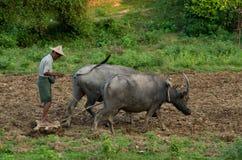Due bufali d'acqua e un agricoltore che ara un campo in Mrauk U, Myanmar Fotografie Stock