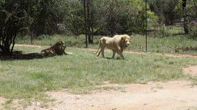 Due bugie dei leoni in alaccia sull'erba, Sudafrica Fotografia Stock