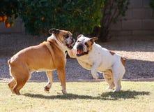 Due bulldog che giocano sull'erba Fotografia Stock