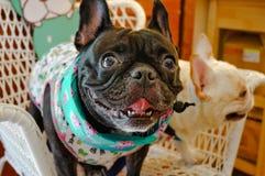 Due bulldog francesi adorabili immagini stock libere da diritti
