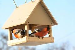 Due bullfinches in alimentazione. fotografia stock