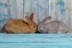 Due bunnyes su vecchio fondo di legno blu Immagine Stock