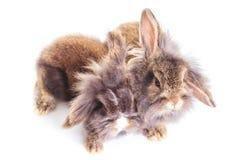 Due bunnys adorabili del coniglio della testa del leone che si siedono insieme Immagini Stock