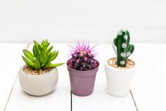 Due cactus e supporto succulente sui bordi bianchi di legno minimalist Fotografia Stock