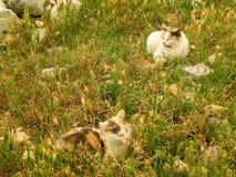 Due calicò Cat Napping sul campo delle rovine antiche dell'acropoli, Atene Fotografia Stock