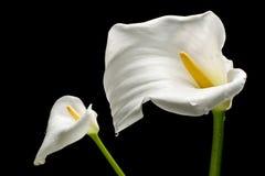 Due Callas bianchi fotografia stock