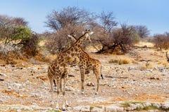 Due camelopardalis del Giraffa si avvicinano al waterhole Immagine Stock