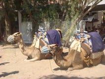 Due cammelli fotografie stock libere da diritti