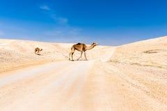 Due cammelli che attraversano la strada che pascola, mar Morto, Israele del deserto Immagine Stock
