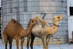 Due cammelli nella contea di Lancaster Fotografia Stock Libera da Diritti