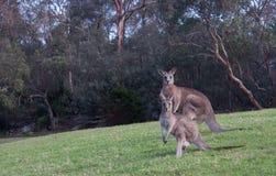 Due canguri australiani nel campo di erba Immagine Stock Libera da Diritti