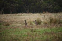 Due canguri che guardano fuori attraverso un campo verde fotografie stock libere da diritti