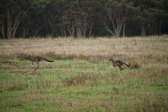 Due canguri che saltano attraverso il campo erboso fotografia stock
