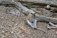 Due canguri che si siedono sulla terra fotografie stock