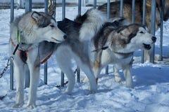 Due cani aggressivi sulla catena intorno al recinto Fotografie Stock Libere da Diritti