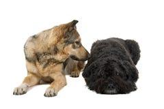 Due cani amichevoli Immagine Stock Libera da Diritti