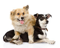 Due cani amichevoli Isolato su priorità bassa bianca Immagine Stock Libera da Diritti