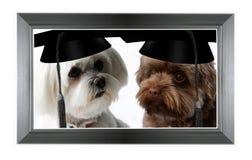 Due cani astuti con il cappuccio di graduazione Immagini Stock