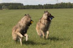 Due cani che corrono con le palle Fotografie Stock Libere da Diritti