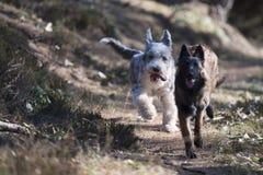 Due cani che corrono insieme Fotografia Stock Libera da Diritti
