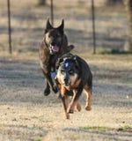 Due cani che corrono velocemente fotografia stock