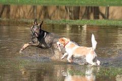 Due cani che giocano in acqua Fotografie Stock Libere da Diritti