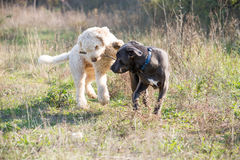 Due cani che giocano con il bastone Fotografie Stock Libere da Diritti