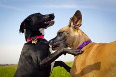 Due cani che giocano primo piano Fotografie Stock Libere da Diritti