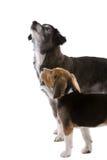 Due cani che osservano in su Fotografie Stock