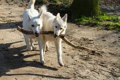 Due cani che portano un grande bastone, migliori amici, lavoro di squadra Immagine Stock