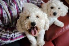 Due cani che si siedono con la persona immagine stock