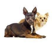Due cani che si siedono da a vicenda che sembra sveglio Fotografia Stock