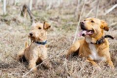 Due cani che si trovano nell'erba Fotografie Stock