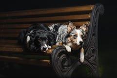 Due cani che si trovano su un banco Fotografia Stock