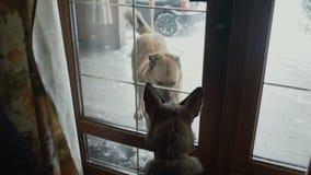 Due cani che sono buoni amici vogliono giocare, recintare, separato stock footage