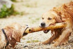 Due cani con il bastone Fotografia Stock