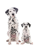 Due cani dalmata svegli padre e figlio Fotografia Stock