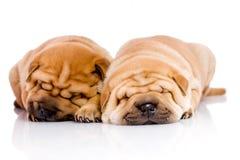 Due cani del bambino di Shar Pei Immagini Stock Libere da Diritti