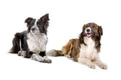 Due cani del Collie di bordo Fotografie Stock