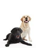 Due cani del documentalista di labrador fotografie stock