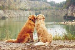 Due cani del documentalista dorato Fotografia Stock