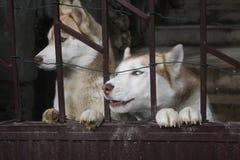 Due cani del husky immagine stock