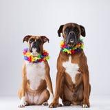 Due cani del pugile Fotografia Stock