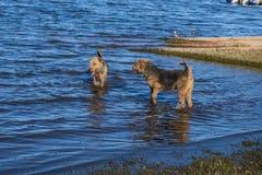 Due cani del terrier di Airedale che giocano nell'acqua fotografia stock libera da diritti