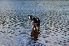 Due cani di border collie bagnano nel lago Immagini Stock