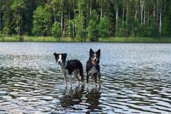 Due cani di border collie bagnano nel lago Immagine Stock